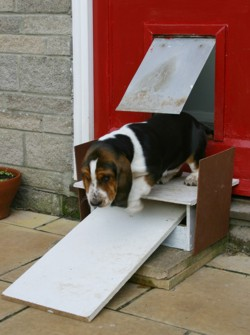 Basset puppy down steps