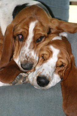 Two Bassets